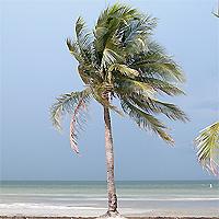 boca chita palm tree